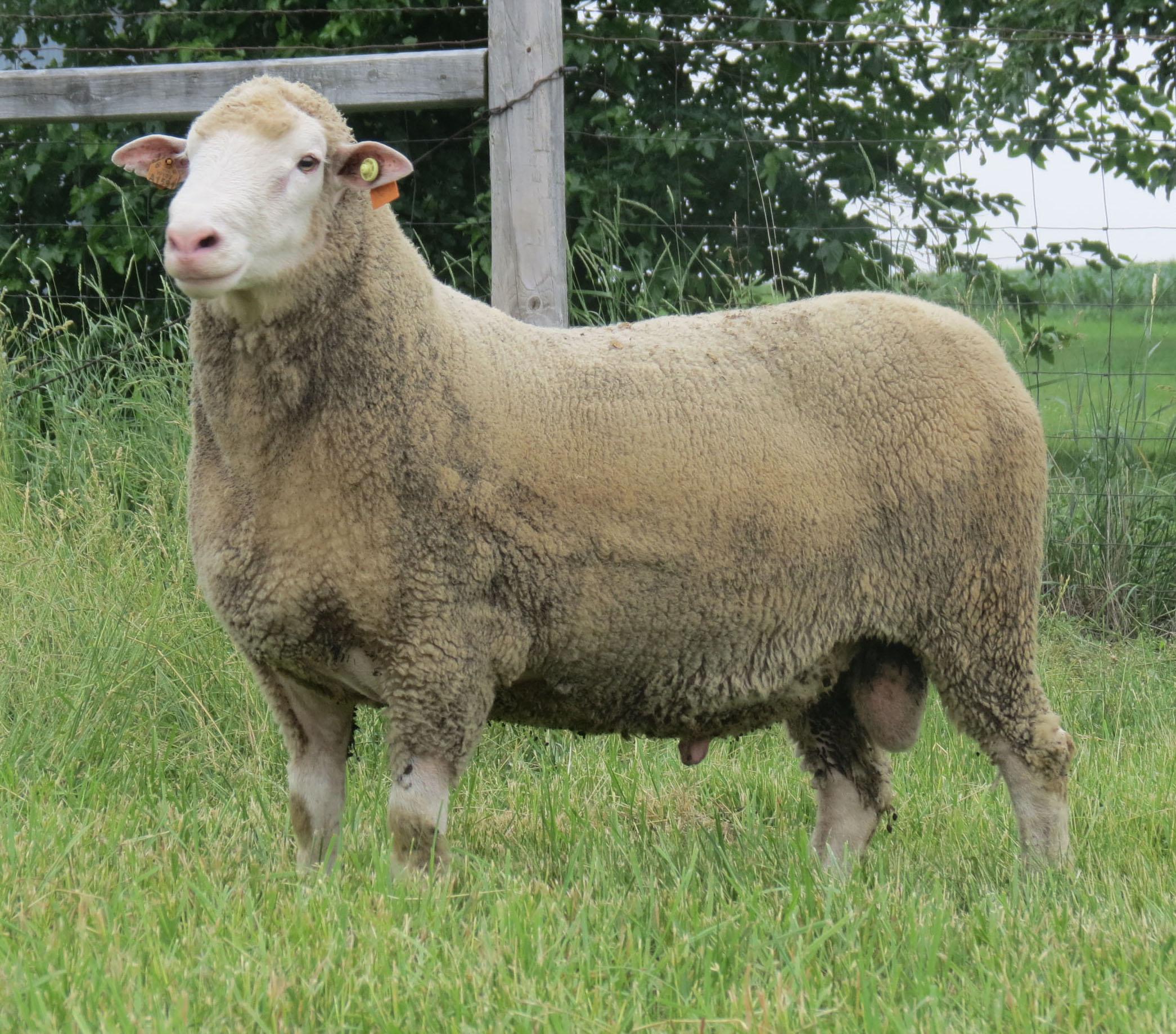 Polypay Sheep