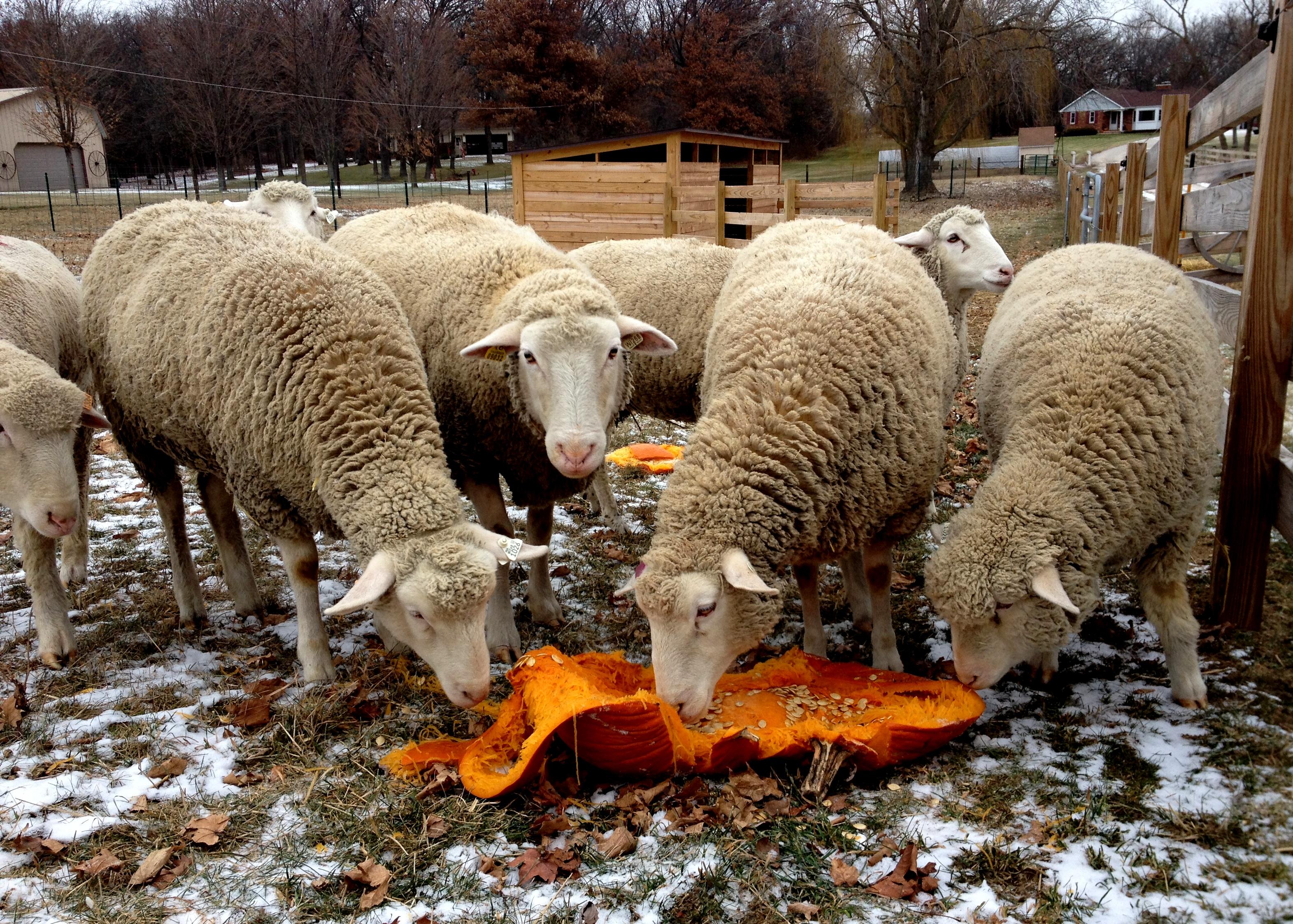 American Polypay Sheep Association